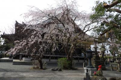鎌倉本覚寺の枝垂れ桜は散り始めです-2020年