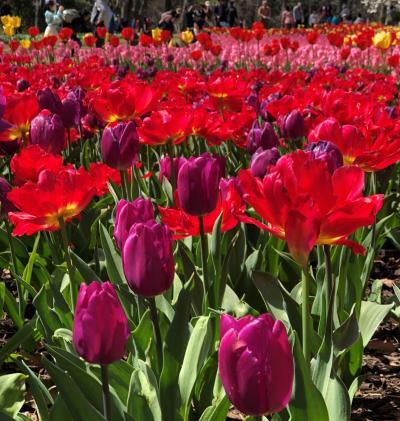 咲いた~チューリップの花が 国営武蔵丘陵森林公園