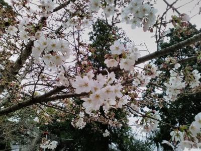 桜開花宣言をした福岡市の桜見物に行って来ました🌸🌸🌸