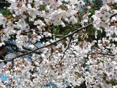 東京2020桜 【1】目黒川&青山霊園
