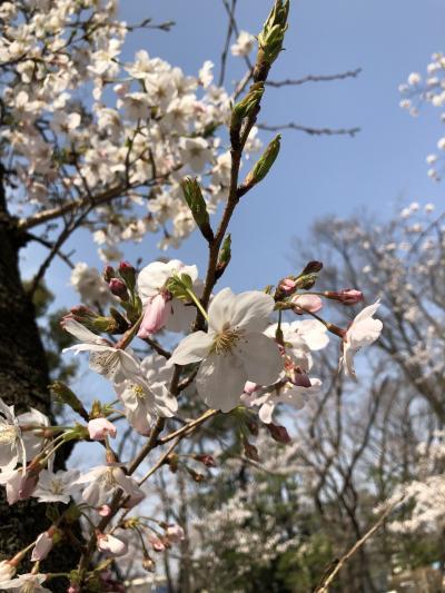 2020/3 与野公園の桜