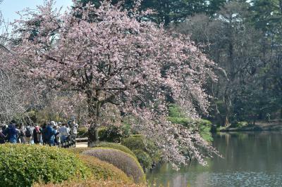 いろいろあっても、桜を楽しむ2020。2月の新宿御苑にて。