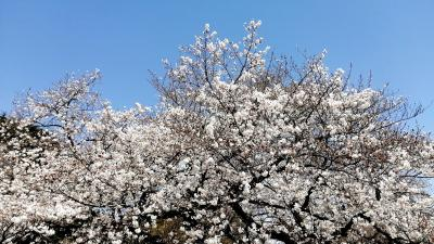 2020年3月 新宿御苑で花見
