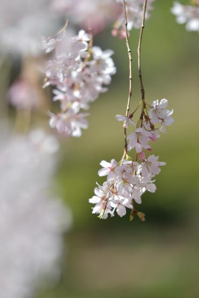 いろいろあっても桜を楽しむ2020。ソメイヨシノはもうちょいだったので、六義園のしだれ桜