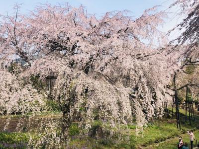 府中 東郷寺の御魂の桜満開