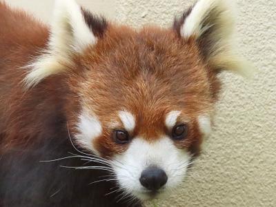 京都市動物園 ようこそ、近畿へ!! 旭山からお嫁入りした糸糸(ミーミー)ちゃんに会いに2週連続で京都ズーへ