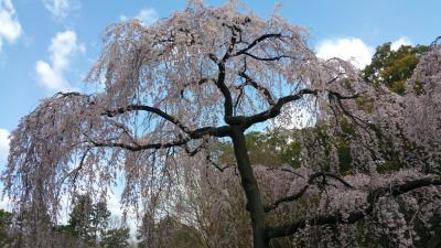 初めての京都御苑。早咲きのしだれ桜①おもに桜