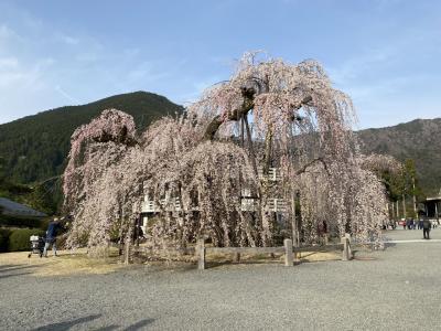身延山 枝垂れ桜2020