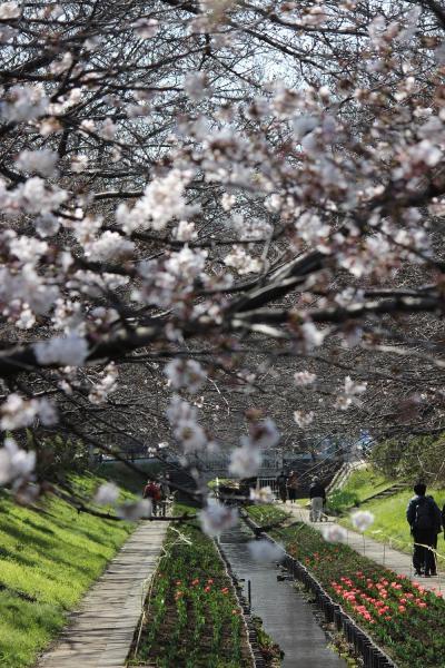 7分咲きの桜並木、横浜都築江川せせらぎ緑道へ。