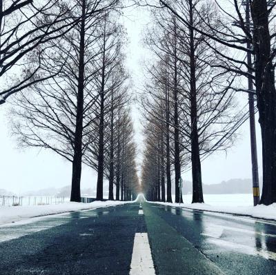 雪降るメタセコイア並木道と白鬚神社