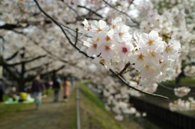 【お花見散策】善福寺川 見頃を迎える桜