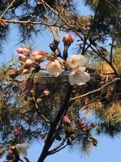 3月23日~まだ蕾の桜?四日市