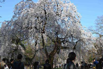 暖冬でやや早めの枝垂れ満開
