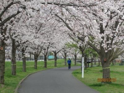柏市の大堀川・リバーサイドパーク・桜満開・2020年3月