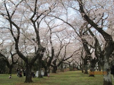 柏市のあけぼの山農業公園・桜満開・2020年3月