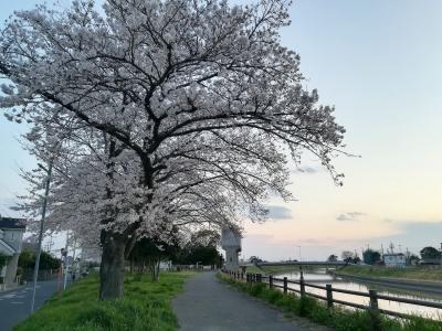 桜は元気。とりあえず。