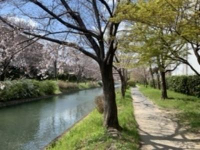 Nearby walking path!  Sakura's flowering declaration!
