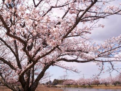 テクノパーク大穂の桜とアシ