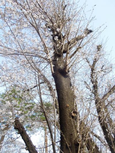 西鶴ケ岡公園で見られた8分咲きの桜
