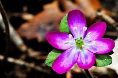春の妖精(雪割草.そよぎの谷)を追いかけて❗️