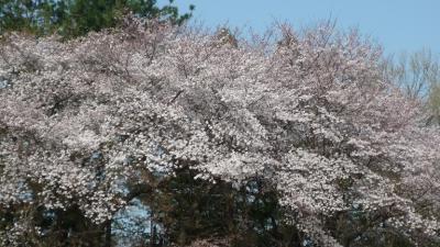 日最高気温が 25℃ 以上の夏日 半袖での桜花見と家族GOLF 🌸