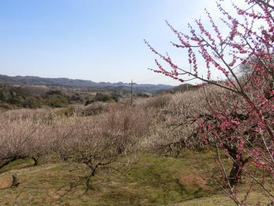 群馬へ。④ガラガラの秋間梅林へ。今年は暖冬の影響で開花が早く、もうだいぶ散っていました。