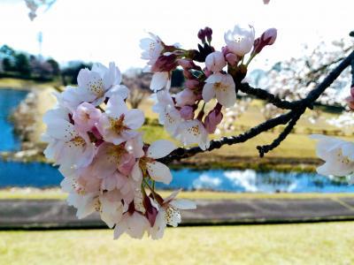 筑波北部緑地の桜