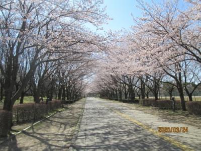 柏市の柏の葉公園・桜満開・2020年3月