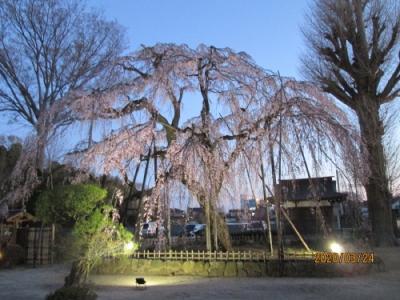 流山市の清瀧院・ 樹齢400年の「しだれ桜」・ライトアップ