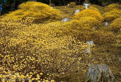 山肌を黄金色に染め上げるミツマタの大群落