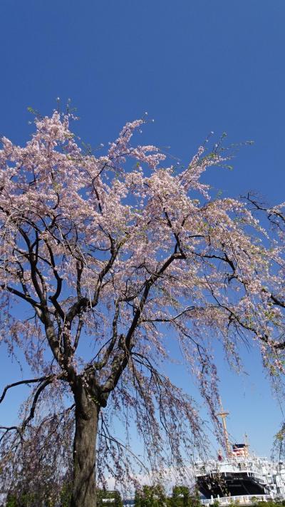 桜散歩 横浜公園から山下公園