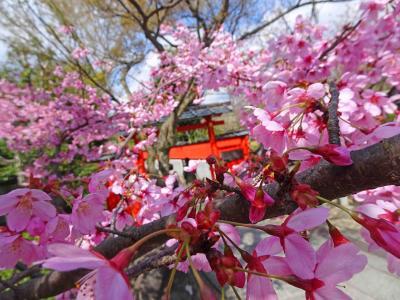 京都、嵯峨少し早めのプチ花見【渡月橋、清涼寺、車折神社】