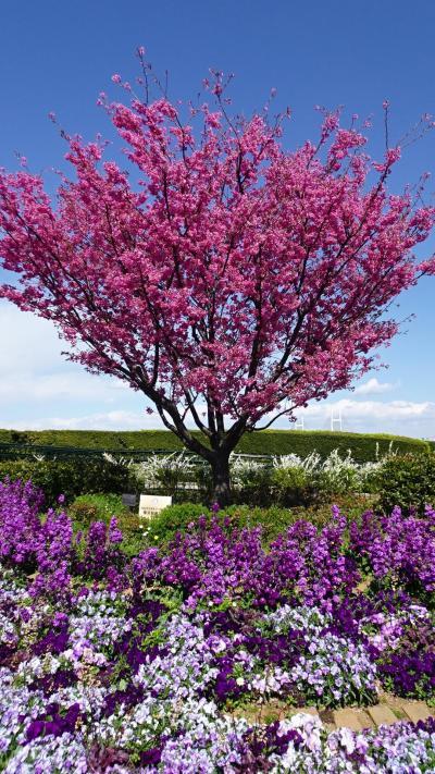 桜散歩 港の見える丘公園から元町公園