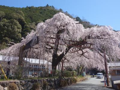 「役場」に枝垂桜を見に行く。大紀町役場柏崎支所の枝垂桜です。