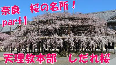 【桜の名所】天理教本部のしだれ桜