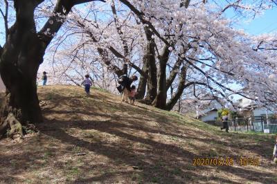 文京学院大学構内の満開の桜