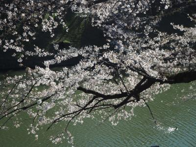 千鳥ケ淵の桜は六分咲き程