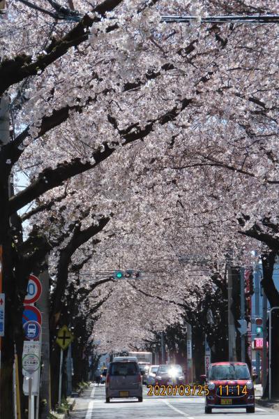 満開の桜のトンネルを見に行きました