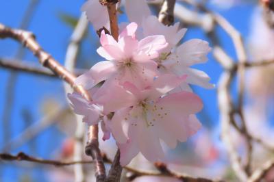 二回目の満開になった冬桜
