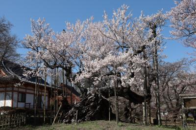 4年ぶりの神代桜 2020