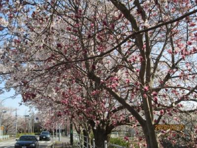 柏市の柏の葉・県民プラザ前・桜とモクレン