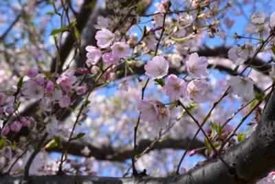 春の花が彩る多摩川土手と等々力緑地2020~桜のお花見と等々力緑地の歴史~(川崎)