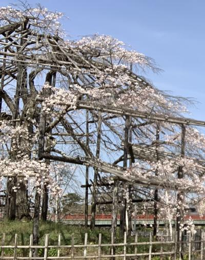 This morning, I saw Sakura from the countryside and went to Ujigawa!
