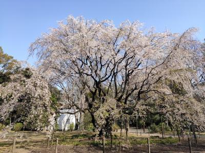 青空と桜の共演見納め 六義園の枝垂れ桜と王子の桜