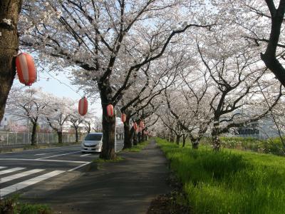 久喜市内の桜の名所を歩く