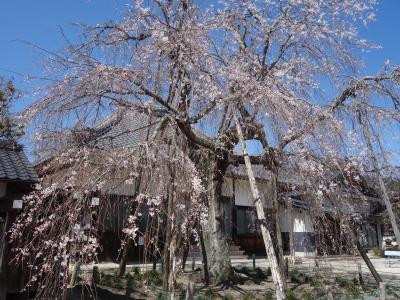 藤岡の金剛寺の枝垂桜を見て来ました。樹齢300年。胸高囲3.3メートル。幹の太い老樹です。