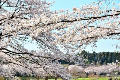 今は静かに桜に揺られて...