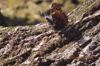 森のさんぽ道で蝶の観察⑤テングチョウ、ルリタテハ、キタテハ、キチョウ、モンシロチョウ