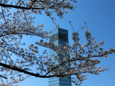 千葉みなと桜散歩