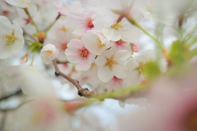 善福寺川 満開を迎えた桜並木